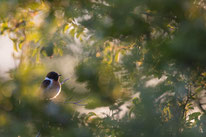 Schwarzkehlchen, vogel, singvogel, sebastian vogel