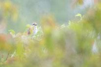 Neuntöter, Sebastian Vogel, Naturfotografie, Vogelfotografie, vogel-naturfoto