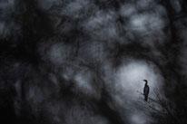 Kormoran, sebastian vogel, naturfotografie, vogel-naturfoto