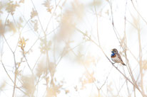 Blaukehlchen, Vogel, Singvogel, Sebastian_Vogel, vogel-naturfoto