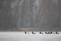 Reiherente, Winter, Sebastian Vogel, Bingen am Rhein