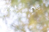 Eisvogel, Sebastian Vogel, Vogelfotografie, vogel, natur