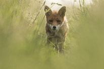 Fuchs, Sebastian Vogel, naturfotografie, rheinhessen, naturbild, wiese