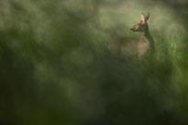 Reh, Säugetier, Sebastian Vogel, vogel-naturfoto