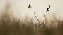 Bienenfresser, vogel, sebastian vogel, vogel-naturfoto