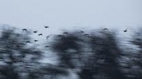 Blässgans, blässgänse, sebastian vogel, niederrhein