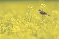 Sebastian Vogel, Dorngrasmücke, vogel, naturfotografie, vogelfotografie, naturfoto