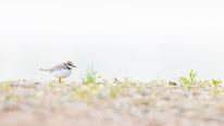 Flussregenpfeifer, vogel, sebastian vogel, vogel-naturfoto