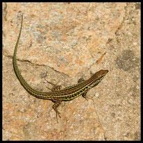Reptilien - Tyrrhenische Mauereidechse