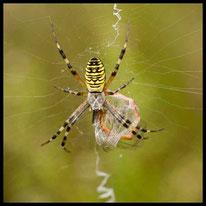 Spinnen - Zebraspinne