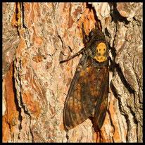 Sonstige Schmetterlinge - Totenkopfschwärmer