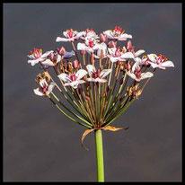 Schwanenblumengewächse - Schwanenblume