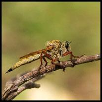 Raubfliegen - Raubfliege