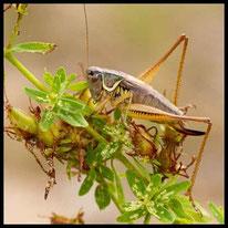 Singschrecken 2 - Roesels Beißschrecke