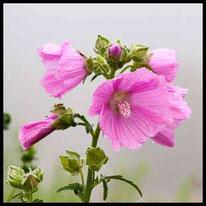 Blütenpflanzen 4 - Rosenmalve