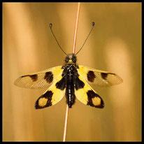 Netzflügler - Östlicher Schmetterlingshaft