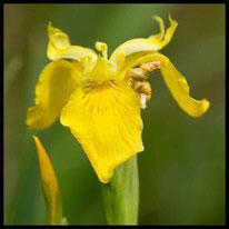 Blütenpflanzen 1 - Sumpf-Schwertlilie