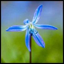 Liliengewächse 2 - Sibirischer Blaustern