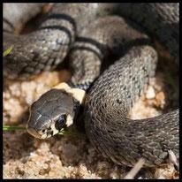 Schlangen - Ringelnatter