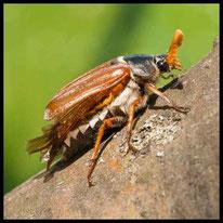 Käfer - Maikäfer