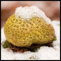 Pilze ohne Stiel - Kartoffelbovist