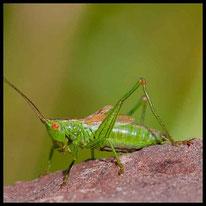 Schwertschrecken - Kurzflügelige Schwertschrecke