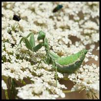 Fangschrecken - Kleine Fangschrecke