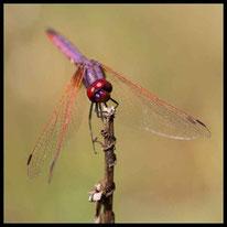 Sonnenzeiger - Violetter Sonnenzeiger