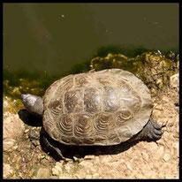 Schildkröten - Spanische Wasserschildkröte