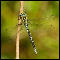 Edellibellen - Blaugrüne Mosaikjungfer