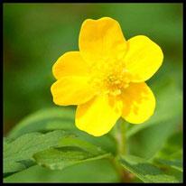 Blütenpflanzen 6 - Gelbes Windröschen