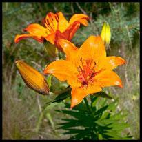 Liliengewächse - Feuer-Lilie