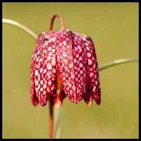 Liliengewächse 1 - Schachblume