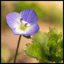 Blütenpflanzen 2 - Persischer Ehrenpreis
