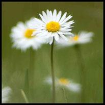 Korbblütler - Gänseblümchen