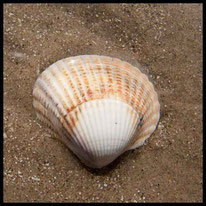 An der Küste - Herzmuschel