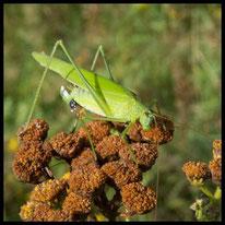 Sichelschrecken - Gemeine Sichelschrecke