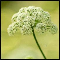 Doldenblütler - Gewöhnlicher Giersch