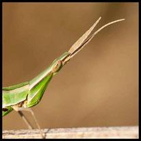 Gras-, Groß- und Kegelkopfschrecken - Gewöhnliche Nasenschrecke