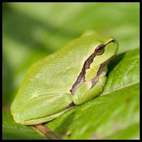 Amphibien - Laubfrosch