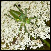 Sattelschrecken - Tyrrhenische Sattelschrecke