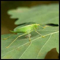 Eichenschrecken - Gemeine Eichenschrecke