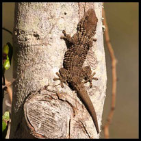 Geckos - Mauergecko