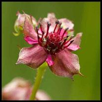 Rosengewächse - Sumpfblutauge
