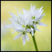 Liliengewächse 3 - Bärlauch