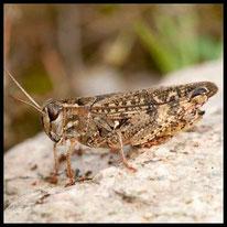 Schön- und Knarrschrecken - Italienische Schönschrecke