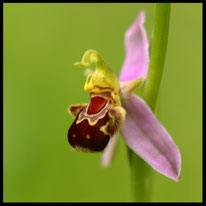 Ragwurz - Bienen-Ragwurz