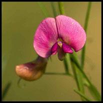 Blütenpflanzen 5 - Wilde Platterbse