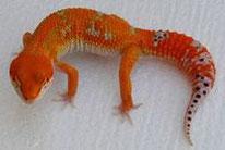 Electric Tangerine (Extrem orangene SHTCTB Linie von Kelli Hammack, HISS)