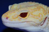 Tremper Albino Eclipse (RAPTOR)